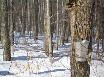 Maple-syrup-tapping-460