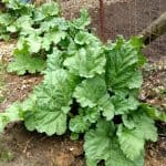 Rhubarb ready!!